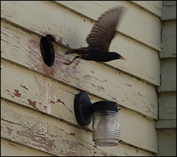 bird removal Clemmons