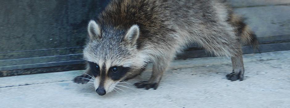 raccoon-control