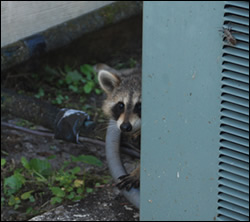 raccoon removal Clemmons